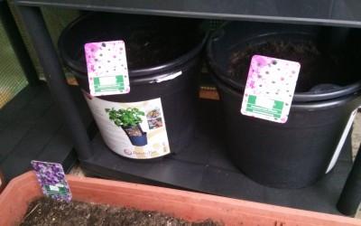Bio Gemüse anpflanzen – Tag 10: Kartoffeln, Champignons und Pfefferminze