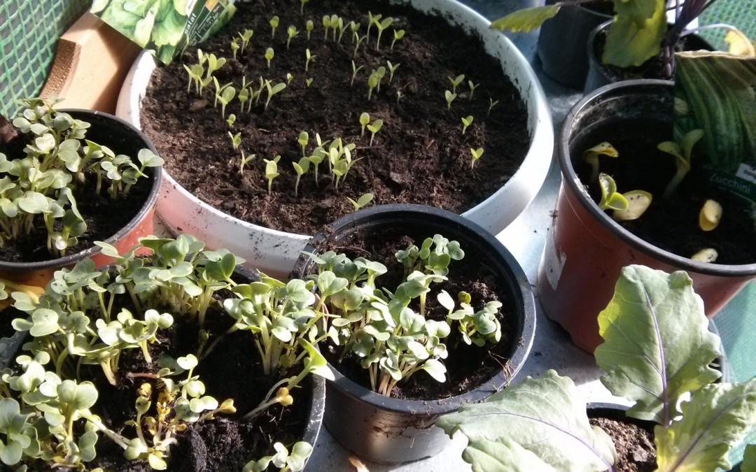 Bio Gemüse anpflanzen – Tag 12: Salat, Radieschen, Zuchhini und Kohlrabi